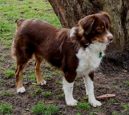 Tri color australian shepherd embroidered patches